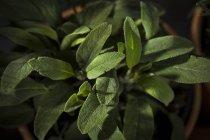Coltivazione in vaso da fiori di salvia — Foto stock
