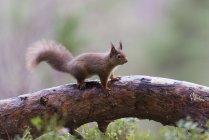 Esquilo-vermelho (Sciurus vulgaris) no ramo de árvore — Fotografia de Stock