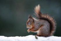 Евразийский белки (обыкновенной Sciurus vulgaris) в снегу — стоковое фото