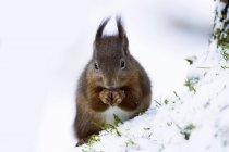 Eurasian esquilo-vermelho (Sciurus vulgaris) na neve — Fotografia de Stock