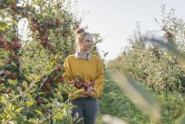 Young woman harvesting apples in orchard — Stock Photo