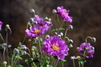 Vue rapprochée de la plante à fleurs Anemone hupehensis — Photo de stock