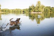 Chien en cours d'exécution dans un lac dans la journée — Photo de stock