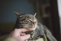 Крупным планом человеческого поглаживающего кота — стоковое фото