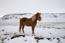 Pie de caballo islandés en un paisaje nevado, Islandia - foto de stock