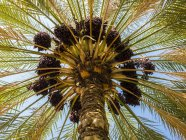 Date palm bottom view, blue sky on background — Stock Photo