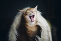 Ginger cat yawning in his fluffy house — Stock Photo