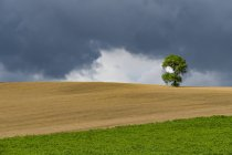 Italia, Toscana, Val d ' Orcia, roble árbol en una colina - foto de stock