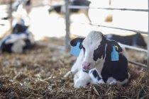 Kalb liegend im Stroh auf dem Bauernhof — Stockfoto