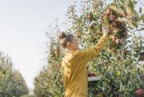 Young woman harvesting apples in cottage garden — Stock Photo