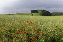 Mohnfeld und grünes Gras — Stockfoto