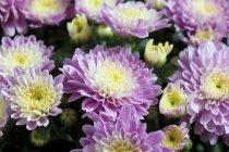 Крупный план красочных цветущих Хризантем — стоковое фото