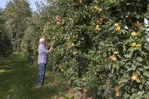 Senior man examining fruits on an apple plantation — Stock Photo