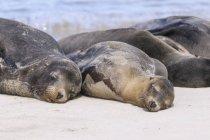 Ecuador, Isole Galapagos, Santa Fe, Leoni marini delle Galapagos che dormono sulla spiaggia — Foto stock