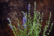 Closeup view of flowering Hyssopus officinalis plant — Stock Photo