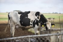 Daytime view of cow drinking outdoors — Stock Photo
