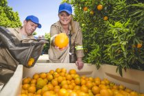 Trabalhadores agrícolas em plantação arrancando laranjas, segurando um na câmera — Fotografia de Stock