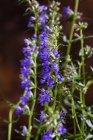 Vista de cerca de la floración Hyssopus officinalis planta - foto de stock
