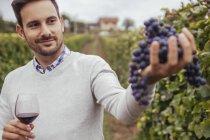 Smiling man in a vineyard checking grapes — Stock Photo