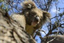 Ritratto di koala sull'albero durante il giorno, Australia — Foto stock