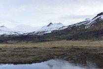 Herd of reindeers, Iceland — Stock Photo