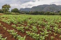 Tobacco field, Cuba — Stock Photo