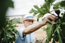 Spain, Tarragona. Retired collecting figs in his garden — Stock Photo