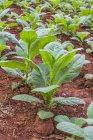 Тютюнової галузі рослин — стокове фото