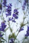 Живокости, Delphinium, цвітіння — стокове фото