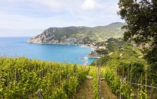 Monterosso al Mare, vineyard — стокове фото