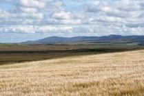 Île d'Islay, orge champs, Hébrides intérieures en Écosse, Royaume-Uni — Photo de stock