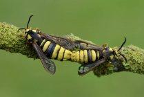 Acasalamento de asas claras Hornet — Fotografia de Stock