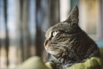 Portrait of tabby cat watching something — Stock Photo