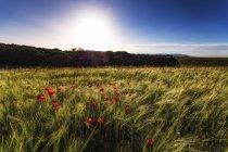Barley at sunset with poppies — Stock Photo