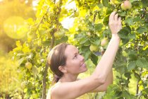 Woman harvesting apples in the garden — Stock Photo
