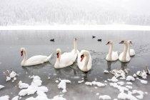 Grupo de Austria, Kleinarl, de cisnes en Jaegersee en invierno - foto de stock