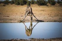 Namibia, Etosha National Park, Giraffe drinking at waterhole — Stock Photo
