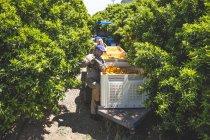 Pluckers working together on orange plantation — Stock Photo