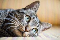 Nahaufnahme einer gestromten Katze, die auf dem Sofa liegt — Stockfoto