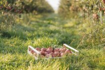 Crate with apples in orchard with copy space — Stock Photo