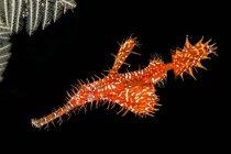 Bali, ornamentado fantasma pipefish na frente de fundo preto — Fotografia de Stock
