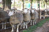 Стадо овец за забором в дневное время — стоковое фото