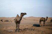 Marokko, Merzouga, Kamele auf ihre Ruhe legen in der Erg Chebbi Wüste — Stockfoto
