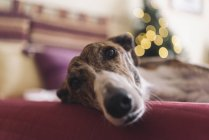 Портрет Грейхаунда, лежащего на диване во время Рождества — стоковое фото