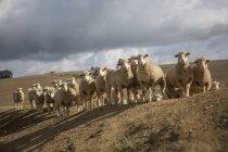Стадо овец на холме в дневное время — стоковое фото