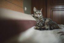 Tabby-Katze entspannt sich im Bett und schaut weg — Stockfoto