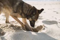 Mongrel dog digging in the sand of the beach — Stock Photo