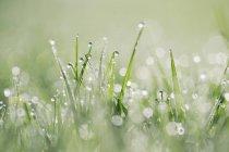 Gouttes de rosée sur herbe sur fond vert flou — Photo de stock