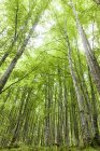 Birch forest during daytime — Stock Photo