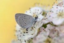 Pequeño azul en flor - foto de stock